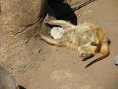"MEERKAT 180_196 (Dancing with Ghosts Graphics) Tags: copyright cute animal mammal meerkat pups small gang mob 180 clan mongoose angola sentry suricate burrows suricatta desert"" diurnal 2013 fawncolored herpestid iteroparous ""kalahari dwgg ""namib debbrawalker feliform dancingwghosts ""suricata suricatta"" ""botswana"" oraging siricata"" majoriae"" iona"""