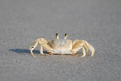 Atlantic Ghost Crab (Bill McBride Photography) Tags: beach nature canon eos sand florida wildlife ghost crab atlantic april fl cocoa crustacean 2016 70d ef100400l ocypodequadrata atlanticghostcrab