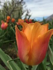 Tulip (Trey DeVries) Tags: flower denver tulip botanic
