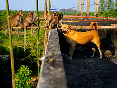 ,, Mama, Monkeys, Roof ,, (Jon in Thailand) Tags: roof shadow dog sun monkey eyes nikon scaffolding wildlife palace mama bamboo jungle monkeys nikkor primate tails k9 morningsun primates the d300 parapetwall wildlifephotography 175528 littledoglaughedstories thedogpalace