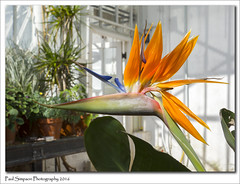 Bird of Paradise (Paul Simpson Photography) Tags: plants plant flower nature sunshine petals colorful birdofparadise greenhouse growing colourful naturalworld greenfingers unusualflowers craneflower photosof photoof greenhouseflower sonya77 paulsimpsonphotography april2016 spring2016