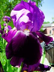 Into the Eye of the Iris (kendoman26) Tags: iris flower closeup fuji purple fujifinepix fujifinepixs1