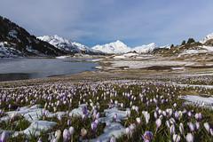Krokusse spriessen (Armin Mathis Fotografie) Tags: see frhling krokusse sufers schneeschmelze eisdecke rheinwald piztambo eisschicht bergfrhling laidavons