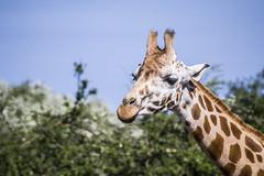 Giraffe (Laura Grimsley Photographer) Tags: nature animals photoshop landscape outdoors photography zoo kent student nikon wildlife canterbury giraffe ashford capitivity portlympne 35mmlens wildlifephotography youngphotographer amaturephotographer nikond3100 llgphotographer