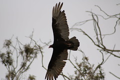 IMG_4558 (californiajbroad) Tags: bird nature turkey outdoors wildlife vulture