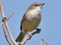 Whitethroat (GrahamParryWildlife) Tags: new uk blue sky sunlight white plant macro tree male bird up field animal sport photo kent flickr dof close outdoor song small sigma add tiny 7d mk2 viewing depth songbird plumage rspb whitethroat kentwildlife 150600 grahamparrywildlife