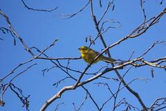 Emberiza citrinella (Lalallallala) Tags: bird suomi finland outdoors helsinki vantaanjoki wildlife emberizacitrinella songbird yellowhammer haltiala keltasirkku ruutinkoski
