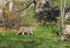 DSC_0294 (d90-fan) Tags: autumn animals tiere herbst hirsch braunbr brownbear geier waschbr wolfes luchs badmergentheim wlfe