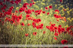 Poppies Blowing in the Wind III (go18lf2004) Tags: flowers plants poppies wild reds yellows fields light colour beautfy sussex depthoffield motionblur photography canon creative mood atmosphere serene calming growth nature contrasts meadows pastures countryside