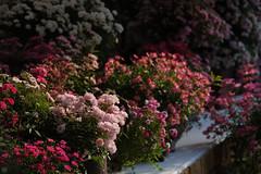 20160522-D7-DS7_2670.jpg (d3_plus) Tags: park street sky plant flower nature japan garden walking drive tokyo nikon scenery bokeh fine daily bloom   nikkor   kanagawa   dailyphoto touring     thesedays  fineday  jindaiji          d700 kanagawapref nikond700