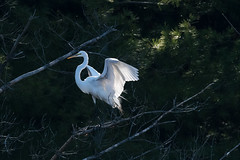 (Rick 2025) Tags: birds greategrets