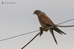 Cerncalo primilla macho (Falco naumanni) (jsnchezyage) Tags: naturaleza bird fauna birding ave rapaz falconaumanni cerncaloprimilla