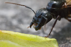 Flying Ant (stuwagon) Tags: wild canada macro wil nature canon insect wildlife ant winged 6d