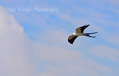 Swallow-Tail Kite (Mike Woodfin) Tags: park county kite color bird nature birds contrast photoshop canon photography photo cool nikon pretty fuji florida photos flight picture photograph fl fowl ruskin swallowtail hillsborough swallowtailkite hillsboroughcounty mikewoodfin mikewoodfinphotography