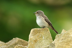 Spotted flycatcher  Muscicapa striata (Roger Wasley) Tags: bird britain gloucestershire british bto migrant muscicapastriata spottedflycatcher gretton summervisitor britishtrustforornithology