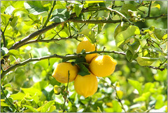 Foursome (Mabacam) Tags: plant yellow walking outdoors countryside spain village hiking country andalucia lemons trail moorish citrus 2016 competa canillasdealbaida