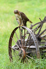 Hardworking red-tailed Hawk (Nick Chill Photography) Tags: bird nature animal fauna hawk wildlife raptor animalia avian birdsofprey redtail birdofprey chickenhawk redtailedhawk buteojamaicensis oldtractor stockimage