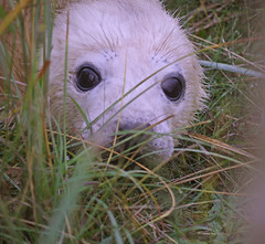 Seal pup (yvonnepay615) Tags: uk nature lumix lincolnshire panasonic seal g1 sealpup wow1 wow2 wow3 coth donnanook supershot specanimal fantasticnature itsawonderfulworld 45200mm coth5 blinkagain
