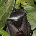 A black giant shield bug from Central Java