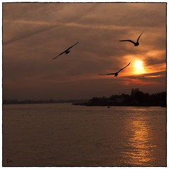 Seagulls ... Silhouettes at Sunset .... (*Lie ... on a short break ... !) Tags: sunset seagulls zonsondergang sonnenuntergang belgium schelde mwe meeuwen antwerpen coucherdesoleil zuiderterras mouettes vlaanderen myhometown lescaut goldenroad