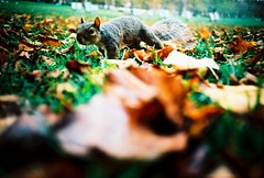 Little Bounder (fotobes) Tags: autumn london film leaves 35mm leaf lca xpro lomography squirrel crossprocess wildlife grain greenpark gathering analogue lowdown autumnal ratseye chinscraper lomographychrome100 fotobes