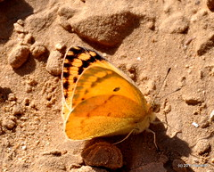 DSC_0385-1 (RachidH) Tags: flowers mountains nature birds fauna flora desert wildlife egypt butterflies insects canyon hills cairo flies mudcracks wadidegla thornyplants largesalmonarab colotisfausta rachidh