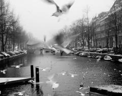 Fly in Amsterdam (Isabella Pirastu) Tags: amsterdam gabbiani olanda