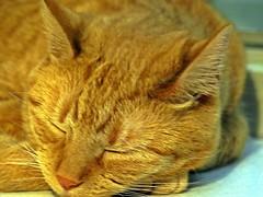 Wilma die rote Katze (emmendinger) Tags: rot digital wilma fotograf katze baden blackforest fell emmendingen breisgau fotoreporter brav dreilndereck sdbaden fortnoire sdschwarzwald fotojournalist verschmust digitalfotografie einzelgngerin kastriert peterkulpe digitalfotograf