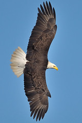 "Bald Eagle ~ Conowingo Dam, Md (Christine Fusco ~ ""Jersey Strong"") Tags: blue sky nature eagle dam flight maryland extension conowingo birdperfect"