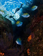 smreefcr8382ws (gerb) Tags: fish topv111 rock ilovenature topv333 underwater scuba reef lapaz seaofcortez tvp softcoral aquatica cupcoral losislotes d7000 sigma1017fe