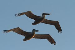 Double Pelican (L.Mikonranta) Tags: california ca brown bird nature birds canon eos us is bigsur pelican 300mm ii 7d l usm f28 ef extender occidentalis pelecanus 14x 420mm canonef300mmf28lisusm canonefextender14xii canoneos7d copyrightlm ruskopelikaani