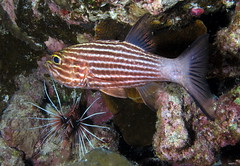 Tiger Cardinalfish, Cheilodipterus macro by Derek Keats, on Flickr