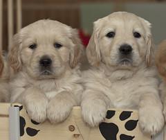 We wish you a wonderful weekend! (pe_ha45) Tags: pups retriever cachorro cucciolo cachorra chiots welpen whelps