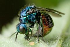 RUBY TAIL WASP   2011  #12  single frame (GOLDENORFE) Tags: macro insect wasp wasps jewelwasp rubytail macrolife