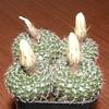 Frailea amerhauseri MU125 (Klavdiy Kispoev) Tags: frailea кактусы