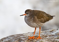 Redshank - Another Ringer (Ashley Cohen Photography) Tags: bird nature wildlife britishwildlife rhosonsea northwales redshank unitedkingdomuk canoneos7d sigma120300mmf28exdgoshsm sigma2xteleconverterapoexdg