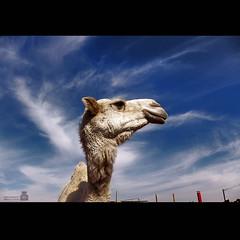 (عبدالمجيد العمر) Tags: camel بعير نياق أبل