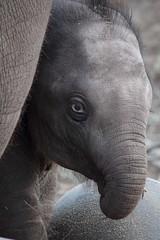 olifantje Mumba (K.Verhulst) Tags: amsterdam zoo elephants artis olifant artiszoo olifanten mumba aziatischeolifant asiaticelephants