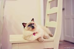 DSC_1037.jpg (Jerry & Grace) Tags: pet cat ragdoll  nikonaf5018d