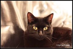 Wagamama (Marthe Pariset) Tags: chat noir yeux maison regard canap fauve paresse panthere