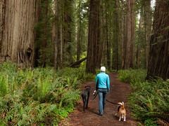 Redwoods Walk (Christopher J. Morley) Tags: park trees beagle dogs forest lucy big friend state walk greatdane trail solo redwoods stoutgrove niki jeremiahsmithredwoods