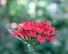 Red Flowers (U A Satish) Tags: flowers india nature niceshot kerala redflowers godsowncountry kannur cannanore uasatish canoneos550d