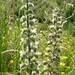 "Echium italicum L., Boraginaceae • <a style=""font-size:0.8em;"" href=""http://www.flickr.com/photos/62152544@N00/6596739331/"" target=""_blank"">View on Flickr</a>"