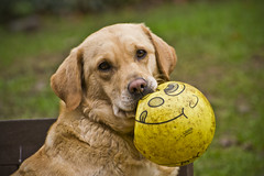 Jess playing ball (Craig Nicolson) Tags: dog animals nikon labrador zoom telephoto nikkor vr 70300 d3100