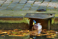 Staying at home! (XavierParis) Tags: paris water canal duck reflex agua nikon eau reflet pato reflejo xavier reflexion xavi reflexo canard reflexin hernandez canalsaintmartin colvert iberica 75010 reflexo 10mearrondissement reflexi d700 xavierhernandez xyber75 xavierhernandeziberica