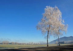 Guten Start ins Neue Jahr (dorena-wm) Tags: blue winter light sun white mountain tree nature berg landscape licht frost hoarfrost natur january meadow wiese birch blau landschaft sonne weiss baum raureif moos januar 2012 birke dorenawm