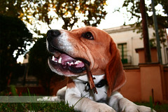 Bigui (arturii!) Tags: portrait dog pet game english beagle beauty grass animal tongue wow mouth garden fun amazing nice interesting funny europa europe play superb sleep teeth awesome great hunting down can catalonia perro fox sit stunning stick hunter impressive gos gettyimages retrat bretaa catalogne bigui arturii arturdebat