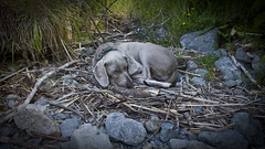 nesT  (m+m+t) Tags: newzealand river sticks nest sleep weimaraner rest tosh riverrocks dogtired mmt otakiforks