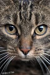 Our cat Nina 6/366 (la cegna) Tags: cat