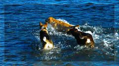 That Stick Is Mine! (LostMyHeadache: Absolutely Free *) Tags: winter motion cold dogs nature water river fun nikon waves games foam ripples splash chasing davidsmith calgaryalbertacanada